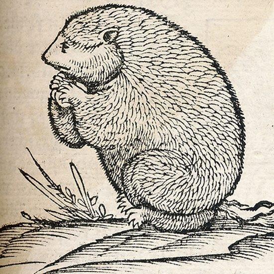 Marmotte, gravure parue dans la Cosmographie universelle de Sébastian Münster en 1552.